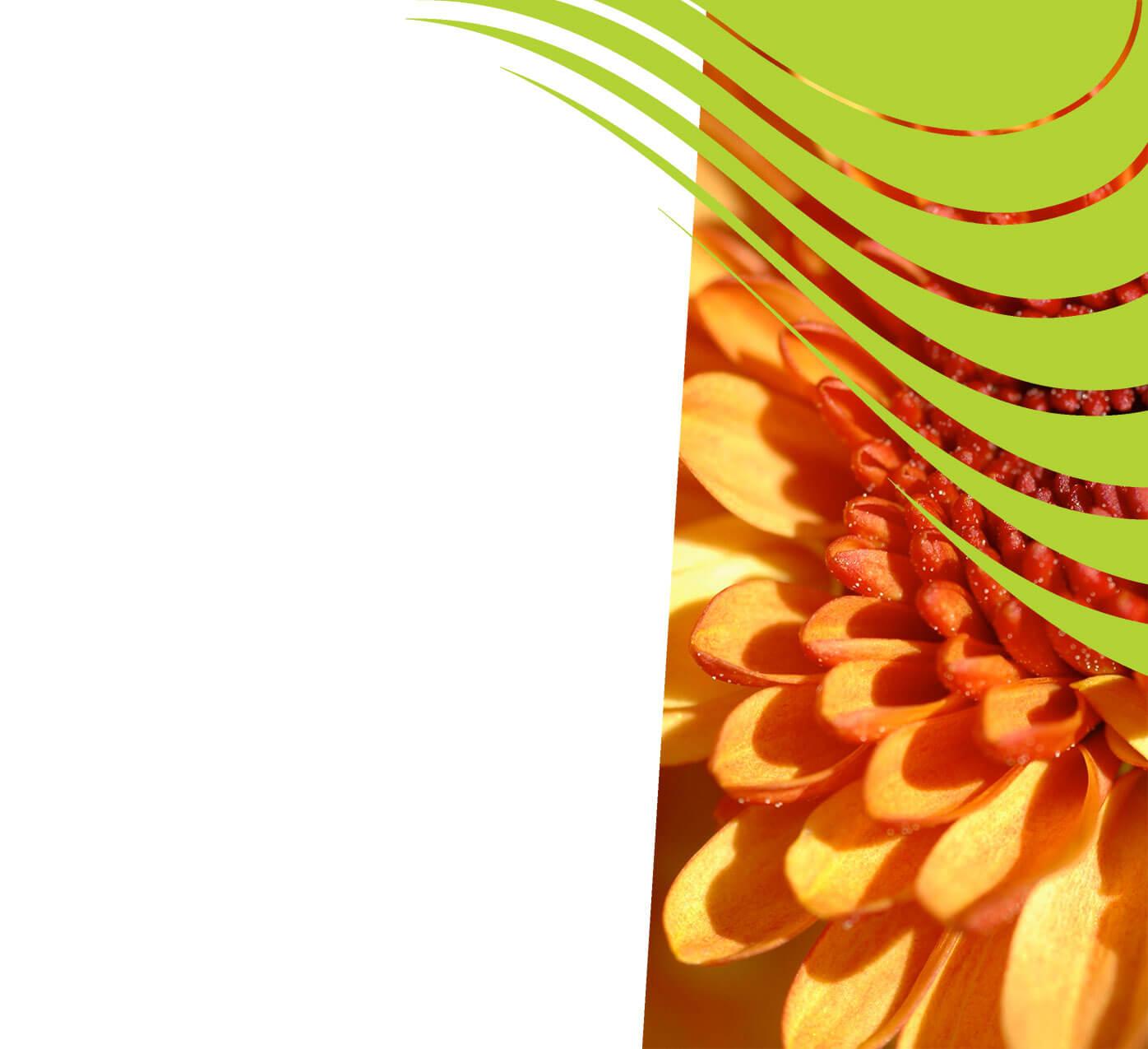 fertiliser for chrysanthemums