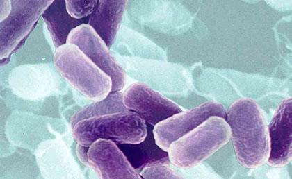 azotobacter inoculum for agriculture