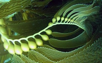 tri-kelp